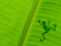 Froschschatten auf dem Bananenblatt Lizenzfreies Stockbild