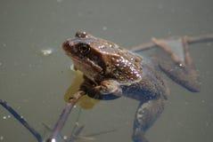 Froschschwimmen im Wasser Stockfotos