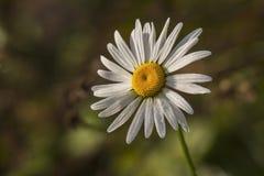 Frosen雏菊在秋天 免版税库存照片