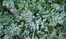 frosen трава Стоковое Фото