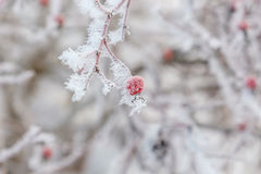 Frosen on a bush dog rose hips Stock Photography