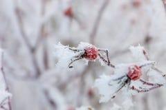 Frosen on a bush dog rose hips Royalty Free Stock Photography