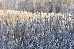 Frosen hedge Royalty Free Stock Image