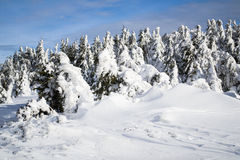 Frosen trees in Carpathian mountains Royalty Free Stock Photos
