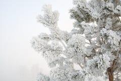Frost на ветви сосны Стоковое фото RF