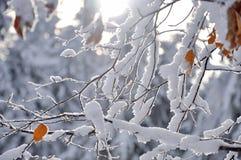 Frost на ветвях дерева Стоковое Изображение RF