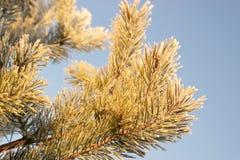 Frost на ветвях сосны Стоковое Изображение