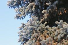 Frost на елевых ветвях Стоковые Фото
