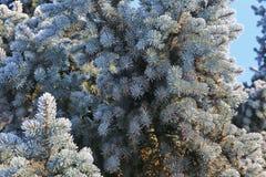 Frost на елевых ветвях Стоковое Изображение