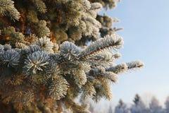 Frost на елевых ветвях Стоковая Фотография RF