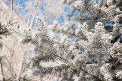 Frost на елевых ветвях Стоковое Изображение RF