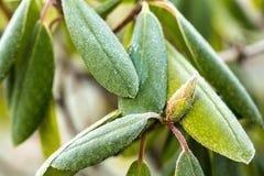 Frost на зеленых листьях Стоковые Фотографии RF