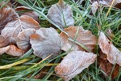 Frost на листьях фундука Стоковое Изображение RF