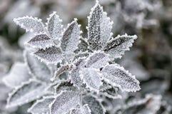 Frost на поднял листья Стоковая Фотография