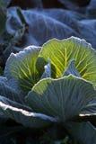 Frost на поле капусты савойя Стоковое Изображение