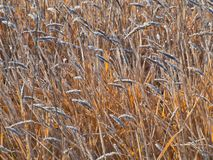 Frost на траве в ноябре стоковое изображение rf