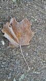 Frost на утре изолированный клен листьев Стоковые Фото