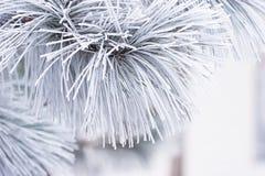 Frost покрыл иглы белой сосны Стоковое Изображение