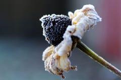 Frost покрыл цветок Стоковое Изображение