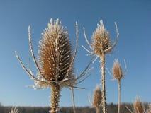 Frost покрыл thistle стоя высокоросл в зиме стоковые фото
