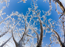 Frost. Beautiful crystals of frost on bare tree branches against clear blue sky Stock Image