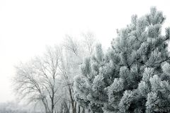 Frost. Winter scene - frost on pine tree Royalty Free Stock Photography