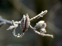 Frost. On young twig -macro stock photo