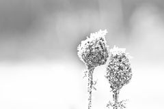 Frost. Ed wild flowers on the cold winterday Stock Photo