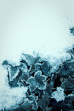 Frost. Some ivy with ice crystals on the leafs with snow around Stock Photo