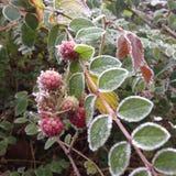 frost Royaltyfri Foto