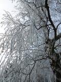 Frost-abedul Fotografía de archivo libre de regalías