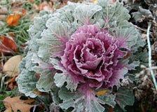 Frost adiantado na couve Fotografia de Stock Royalty Free