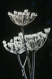 Frost on Apiaceae plant Stock Photo