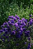 Frost-Aster Stockfotos
