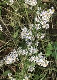 Frost Aster Flower. Symphyotrichum Pilosum, commonly called Frost Aster, a perennial wildflower native to Canada and the U.S. The stems are erect, ascending or Stock Photo