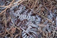 Frost auf Adlerfarn Stockbild
