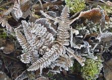 Frost auf Adlerfarn-Wedeln Lizenzfreies Stockbild