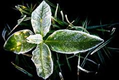 Frost auf Blättern Lizenzfreie Stockfotografie