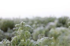 Frost auf dem Gebiet, Kohlblätter bedeckt mit Frost lizenzfreie stockbilder