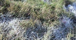 Frost auf dem Gras stock video