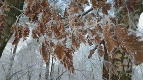 Frost auf den Eichenblättern stock footage