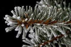 Frost auf Fichtenzweig Stockbild