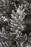 Frost auf Fichtenzweig Stockfoto