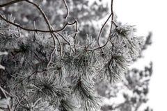Frost auf Nadeln der Kiefer Lizenzfreie Stockbilder