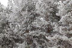 Frost auf Nadeln einer Kiefer Lizenzfreie Stockfotos