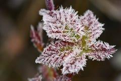 Frost auf Niederlassungen Natürlicher saisonalhintergrund des schönen Winters Lizenzfreie Stockbilder