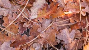 Frost auf orange Eichenblättern und Nadeln der braunen Kiefer Stockfotos