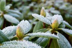 Frost auf Rhododendron Lizenzfreie Stockbilder