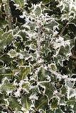 Frost auf Stechpalmebusch lizenzfreie stockfotografie