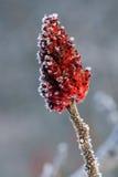 Frost auf sumac im Winter Stockfotos
